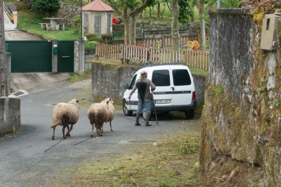 Schäfer mit seinen drei Schafen