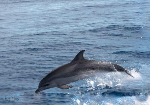 Delfine vor La Gomera