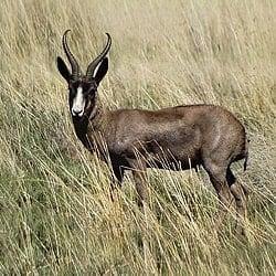 Black Springbok trophy hunting