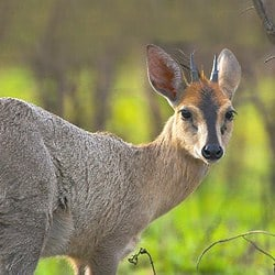 African plains animals. Duiker trophy hunting