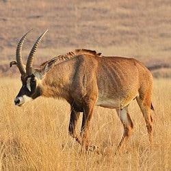 Roan Antelope trophy hunting