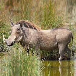 Warthog trophy boar at a mud hole. Warthog plains game hunting is a must.
