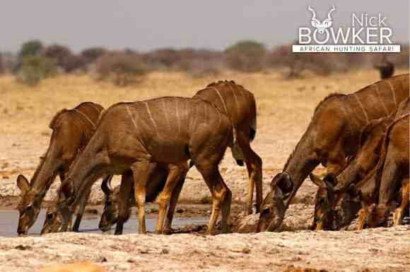 Females drinking at a waterhole during the dry season. Females do not have horns.