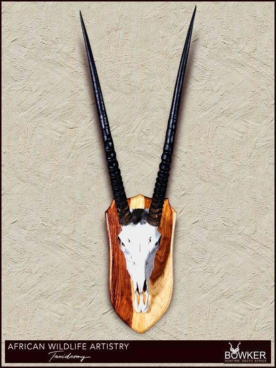 Gemsbok skull mount. South African taxidermy prices.