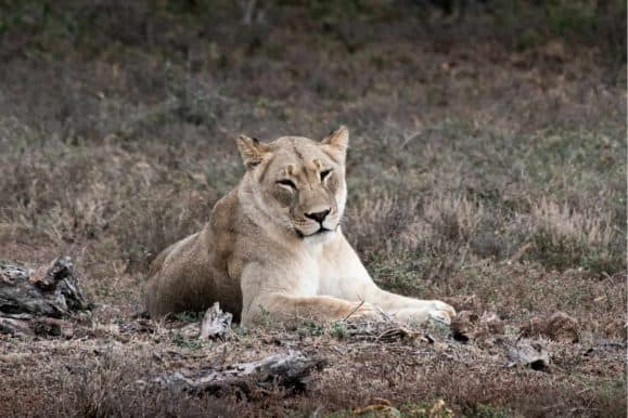 Lion in the Addo Elephant park