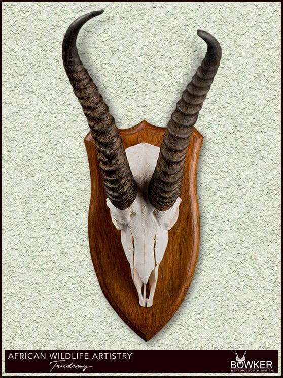 Springbok skull mount.