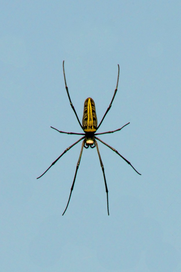 Female wood spider