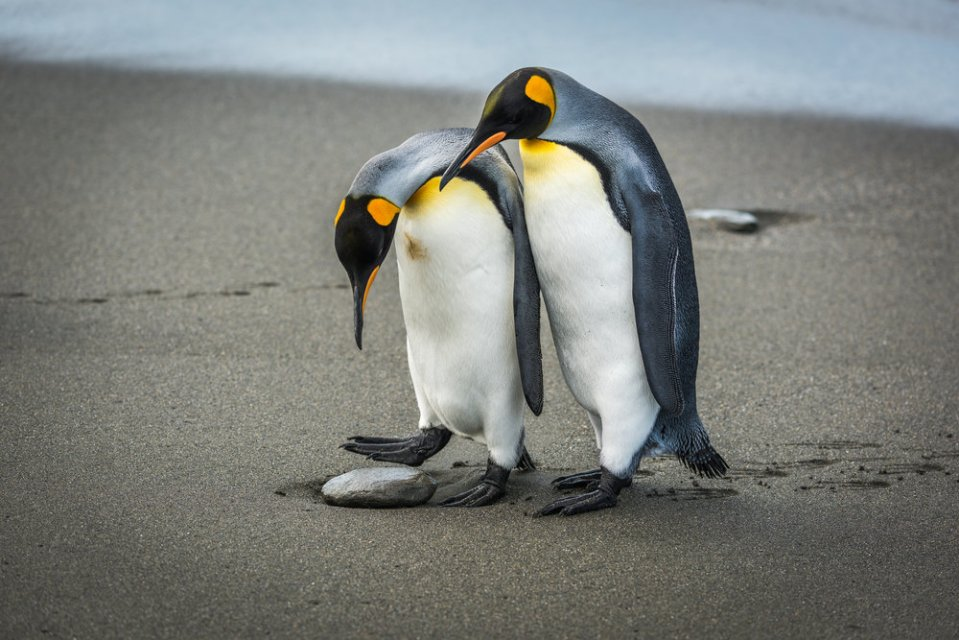 King penguin stepping over rock with another