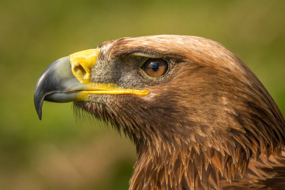 Close-up of golden eagle head with catchlight