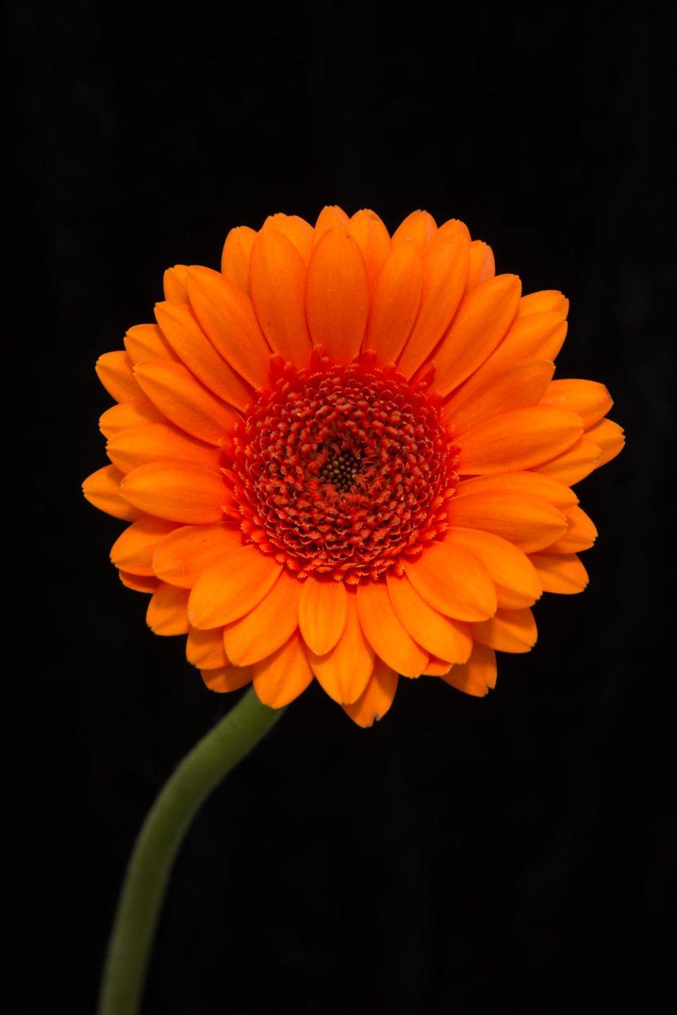 Head and stem of bright orange gerbera