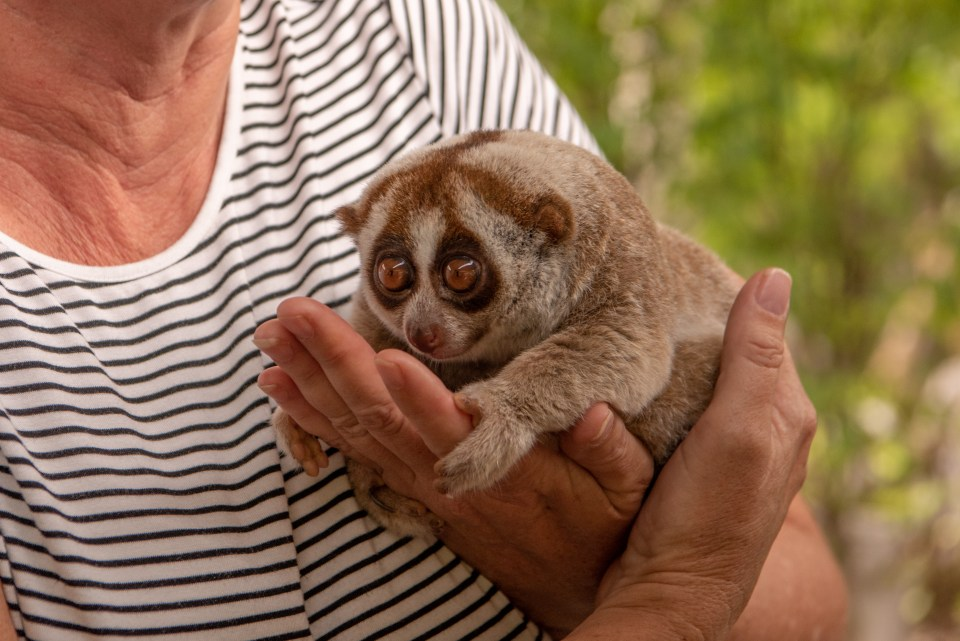 Slow loris sits in hands of woman.jpg