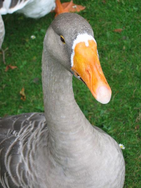 goose450