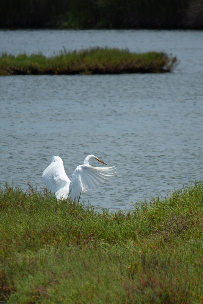 photo of a great egret with its wings spread in the Bolsa Chica wetlands