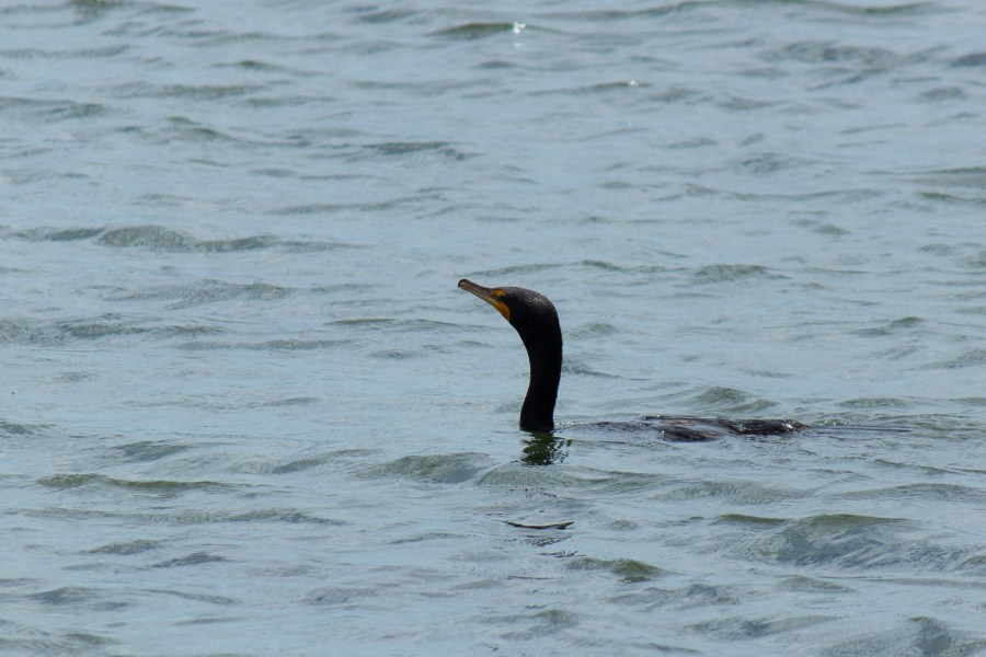 photo of a double-crested cormorant sticking its head out of some water