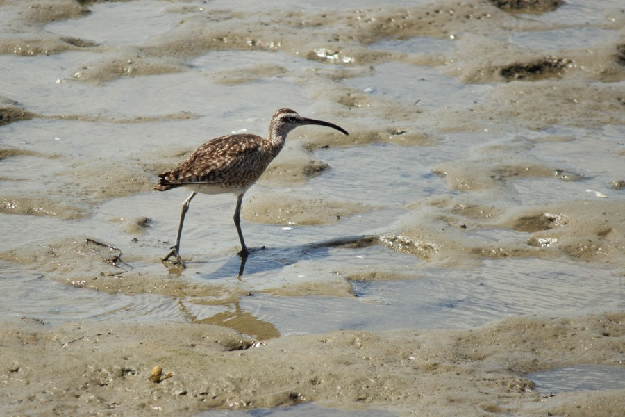 photo of a whimbrel wading in shallow wetlands