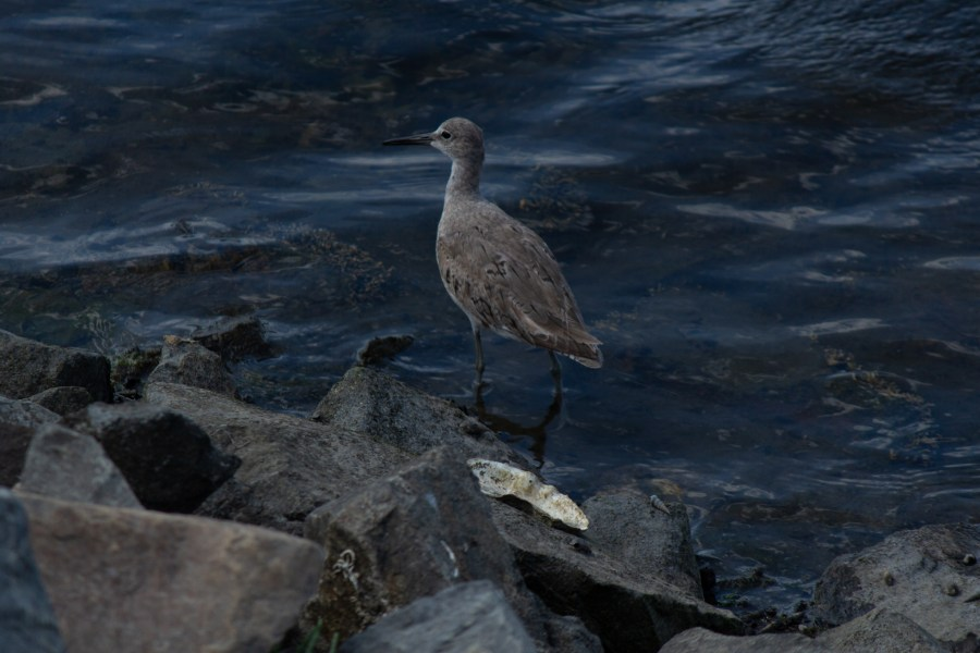 photo of a willet wading in some water near rocks