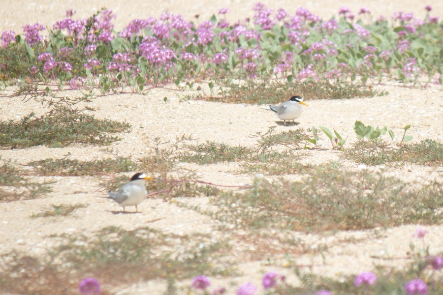 photo of two California least terns in the Bolsa Chica Ecological Reserve
