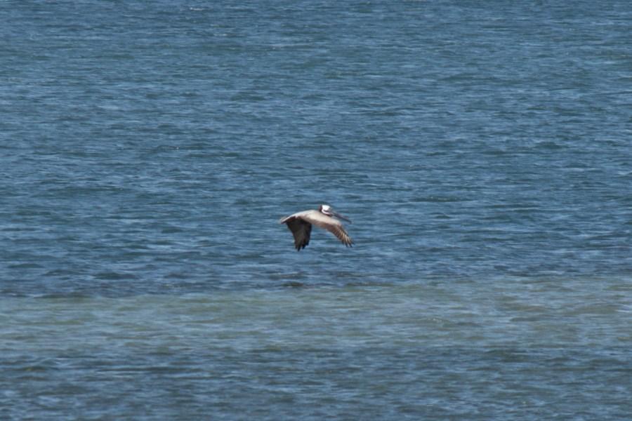 photo of a brown pelican in flight over water