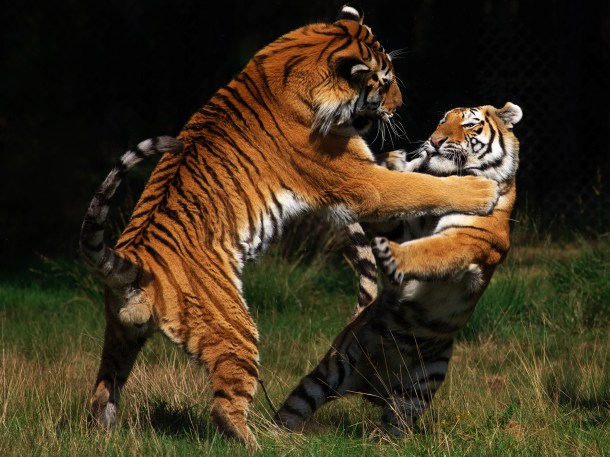 The Siberian tiger is the largest and palest subspecies of tiger.  (Photo credit: © 2015 Thinkstock)