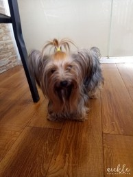 Faith The Yorkshire Terrier