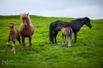 Icelandic horses with foals