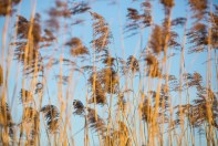 Reeds at sunset, personal