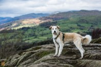 Danny, our lovely dog, posing on top of Orrest Head