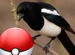 a magpie sits on a branch looking at a pokemon go pokeball