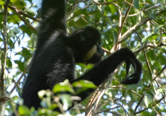 Male Gibbon - photo by Conservation International