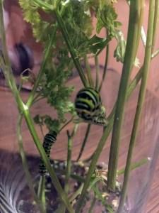 closeup black swallowtail caterpillar