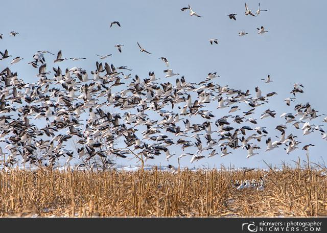 Geese, Corn Field