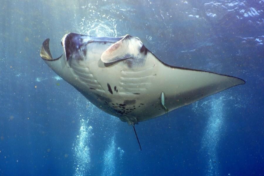 Manta Ray Nusa Penida Scuba Diving Bali