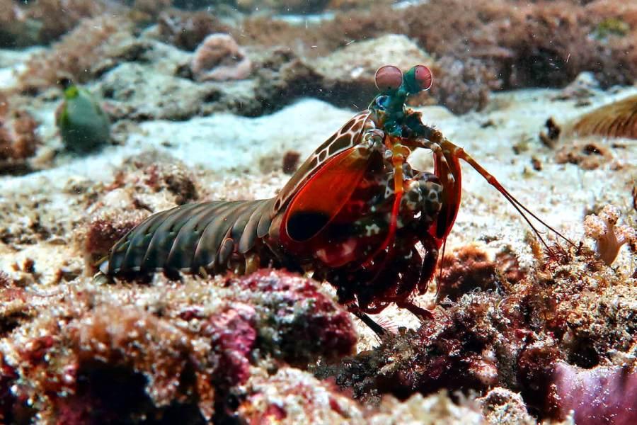 Mantis Shrimp Scuba Diving Bali