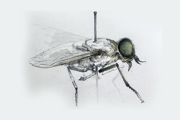 Female Tabanus Australicus Studies