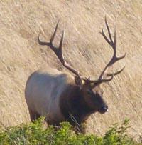 Tule Elk bull, Tomales Pt., Pt. Reyes