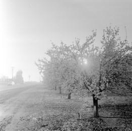 fresno almond blooms nicole caldwell studio 19 blossom trail