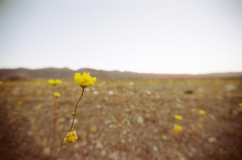 death valley super bloom 2016 nicole calwell 09