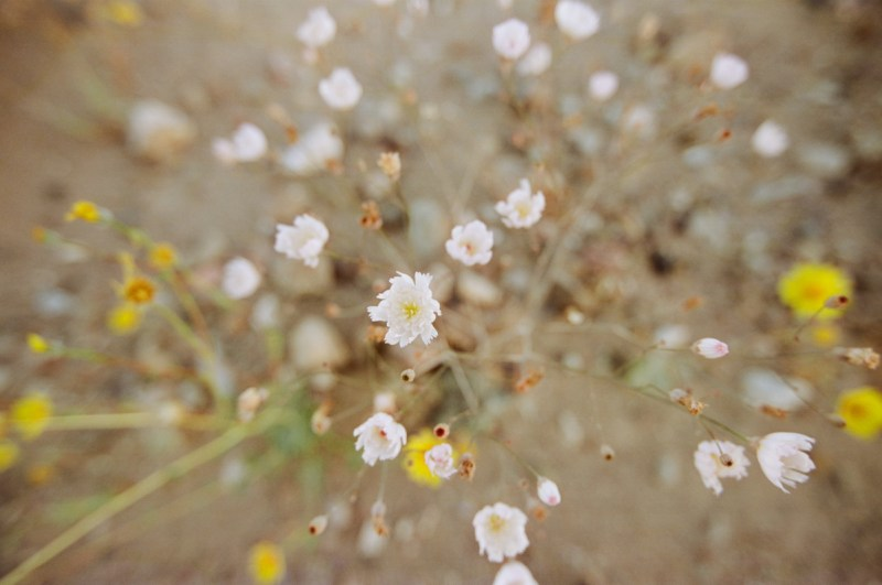 death valley super bloom 2016 nicole calwell 16