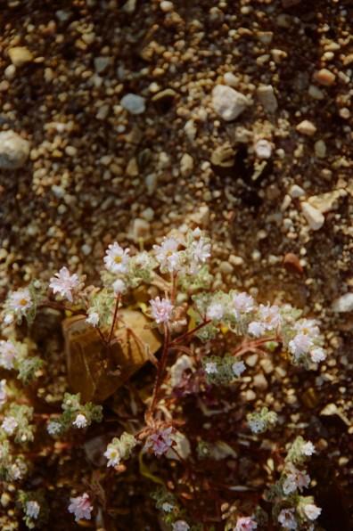 super bloom death valley beatty junction 10