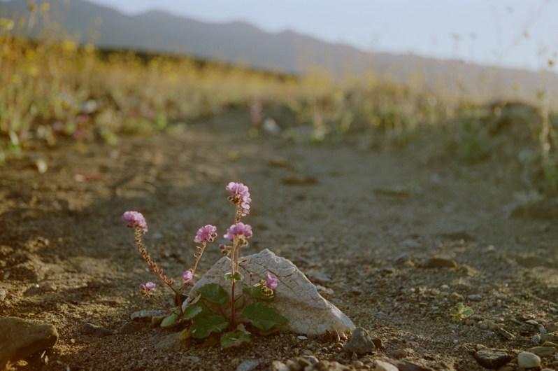 super bloom death valley beatty junction 13