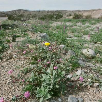 anza borrego desert wildflowers film nicole caldwell hasselblad 01