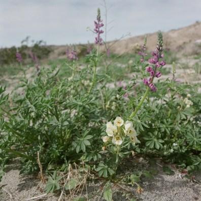 anza borrego desert wildflowers film nicole caldwell hasselblad 03