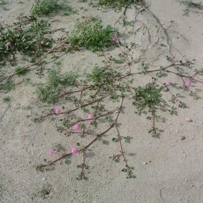anza borrego desert wildflowers film nicole caldwell hasselblad 04