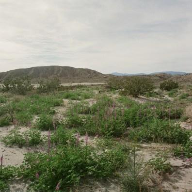 anza borrego desert wildflowers film nicole caldwell hasselblad 06