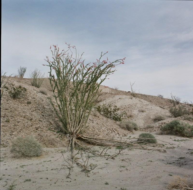 anza borrego desert wildflowers film nicole caldwell hasselblad 07