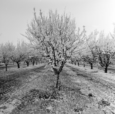 fresno almond blooms nicole caldwell studio 04 blossom trail