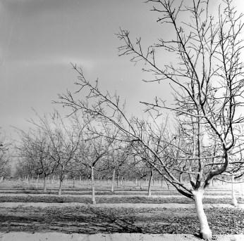fresno almond blooms nicole caldwell studio 11 blossom trail