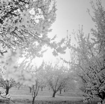 fresno almond blooms nicole caldwell studio 16 blossom trail