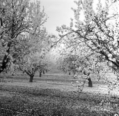 fresno almond blooms nicole caldwell studio 21 blossom trail