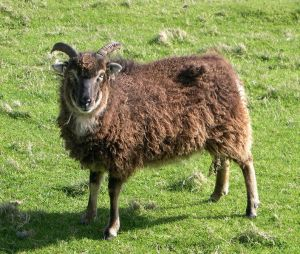 This is Soay ewe. (Source: Wikimedia Commons)